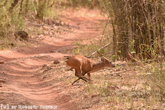 Barking Deer/Muntjac (Robbert met dubbel B) Tags: park india photography wildlife indian deer safari national april np 29 29th barking muntjac 2016 indische tigerreserve muntjak wildlifephotography tadoba andhari wildfotografie
