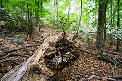 Log on (kzoop) Tags: park trees newyork tree nature log outdoor hiking hike bearmountain manual 12mm bearmountainstatepark samyang majorwelchtrail majorwelch