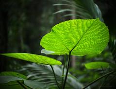 Stinging leaf_c (gnarlydog) Tags: detail tree green nature outdoors leaf rainforest colorful bokeh australia backlit poisonous stingingtree adaptedlens cinelens kodakanastigmat63mmf27