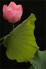 Pink Lotus Flower and the backlit leaf (Bahman Farzad) Tags: pink flower leaf lotus backlit