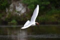 Black Headed Gull? (OLLIEINLEEDS) Tags: black bird beauty abbey focus gull flight bolton wingspan headed in