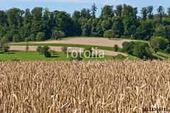 Getreidefeld am Dinkelberg (vivalatinoamerica) Tags: sommer landwirtschaft feld wiese landschaft wald baum acker agrar getreide weizen getreidefeld kulturlandschaft feldfrchte