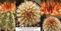 Copiapoa serpentisulcata (collage) (Succulents Love by Pasquale Ruocco (stabiae)) Tags: copiapoa serpentisulcata collage cactusco cactus cactaceae chile atacama antofagasta pandeazucar pasqualeruocco piantegrasse piantagrassa stabiae succulentslove succulents succulente succulent succulenta forumcactusco cacti