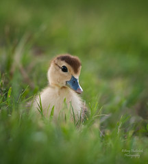 Sweet Innocence. (Amy Hudechek Photography) Tags: baby animal easter duck nikon all wildlife ngc duckling getty natures gettyimages level3 d300 happyphotographer mascovy mascovyduck mygearandme mygearandmepremium allofnatureswildlifelevel1 allofnatureswildlifelevel2 allofnatureswildlifelevel3 allofnatureswildlifelevel4 allofnatureswildlifelevel5 allofnatureswildlifelevel8 allofnatureswildlifelevel6 allofnatureswildlifelevel7 allofnatureswildlifelevel9