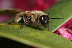 Miner bee on rhododendron leaf (Lord V) Tags: macro bug insect bee minerbee