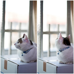99/365 (Nazra Zahri) Tags: light cats white male home window japan outside nikon kitten diptych raw sitting afternoon looking box tabby 85mm study cardboard munchkin 365 nikkor okayama 2012 85mmf18d d700