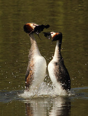 Strictly..... (alison brown 35) Tags: uk wild nature water birds canon photography dance spring weed dam wildlife ngc ceremony 300mm npc 7d april mating f28 sthelens grebe 2012 courtship grebes podicepscristatus 14x carrmill greatcrested specanimal avianexcellence ngwildlife