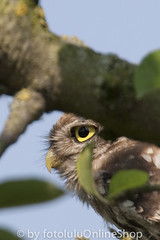 Steinkauz_Athene noctua-52 (fotolulu2012) Tags: nature birds animals photography tiere photo photos natur birding aves pajaros fotos vgel athene bilder vogel birdwatcher birdwatch naturfotos naturbilder tierbilder tierfoto tierfotos animalphotography littleowl geflgel athenenoctua animalpictures tierfotografie federn naturfotografie ornithologie fotografen wildlifephotography vogelflug wildtiere vogelzug bildarchiv wildlifephotos tierwelt animalphotos gruppen steinkauz ornithologe vogelfotografie wildlifepictures avesexoticas bestofanimals tierfotograf mochueloeuropeo fotosdeanimales birdphotogallery ceurope bilddatenbank avibase vogelfotos birswatching fotolulu fotoluluagentur tierfotoagentur tierfotosweltweit avesvgel vogelphotographie tierfotodeluxefotosdeaves strigidaeeigentlicheeulen strigiformeseulen