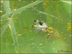 French Frog (tonywheels) Tags: france green nature colors animal french amphibian vert frog marais grenouille marshes yabbadabbadoo