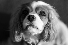 Indi (Kayleigh McCallum) Tags: uk dog pets cute nature girl animal photography scotland blackwhite nikon mammals indi 2012 cavalierkingcharlesspaniels