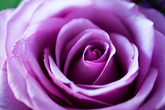 Delicate (Edwin van Nuil Photography) Tags: flower macro rose purple delicate geocity exif:focal_length=30mm exif:iso_speed=100 exif:make=sony camera:make=sony geostate geocountrys exif:aperture=35 nex7 sony30mmf35macro sonynex7 camera:model=nex7 exif:model=nex7 exif:lens=e30mmf35macro