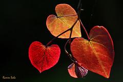 A love was mine (Explored) (Ramen Saha) Tags: cerciscanadensis easternredbud backlitleaves ramensaha redbudnewleaves backlitredbudleaves