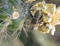 Narnia (HeidiG71) Tags: nature insect colorado wildlife narnia truebug cañoncity leaffootedbug tunneldrive