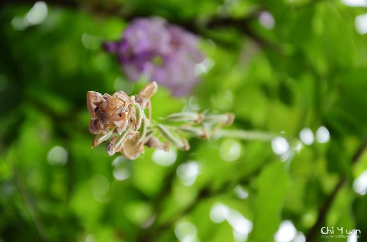 植物園紫藤07.jpg