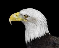 Bald Eagle_RGB7295WBS (DansPhotoArt) Tags: world bird nature silhouette composite fauna photoshop nikon eagle wildlife baldeagle d200 americaneagle sanctuary fisheagle wbs