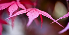 Bergamo - red leaves (susivinh) Tags: red macro leaves canon hojas rojo dof shallow