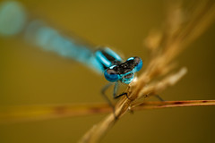 Blue damselfly in beautiful shallow depth of field (frank.hoekzema) Tags: blue wild summer portrait sun plant abstract black flower detail macro green nature colors beautiful grass animal animals closeup insect wings flora close dragonfly background wildlife creative resting common damselfly mesmerizing