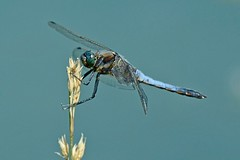Groer Blaupfeil (Orthetrum Cancellatum) 1268 (fotoflick65) Tags: macro closeup bug insect dragonfly iso400 14 ds tc pro 300 makro libelle insekt f8 32 teleconverter nahaufnahme skimmer odonata libellulidae blacktailed kenko groser orthetrum cancellatum blaupfeil telekonverter dgx fl250 tamronspaf180mmf35dildifmacro segellibelle d7000 groslibelle y2012 ta180 fl200250 st1600 st8001600 fotoflick65 ym06