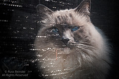 The Other Side (Russ Beinder) Tags: blue cat eyes feline pussy kitty ragdoll wiskers purebred shiichan 55mmf35aimicro 0mmf0