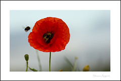 Poppy (Shaun Argent) Tags: summer flower nature flora poppy