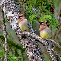 Cedar Waxwing Pair at the Masquerade Ball (Peggy Collins) Tags: two couple britishcolumbia pair evergreen masquerade cedarwaxwing sunshinecoast firtree cedarwaxwings twosome waxwings masqueradeball twobirds birdsonabranch peggycollins birdpaironbranch birdsinevergreentree