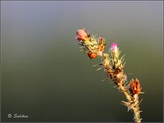 El mundo al reves (Santiago Vidal - Saliken) Tags: flores macro planta animal canon eos 7d pinchos insecto mariquita saliken flickrstruereflection1