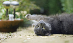 Montie (SAASphotography) Tags: blue beaconsfield blackandwhite cats black ass beautiful rain cat canon kitten daffodil ladybug british rap aa massie saas bobmassie sonnyannesley didderly