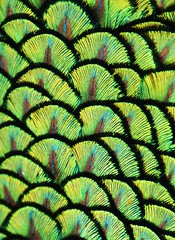 Peacock Feathers (M. Fitzsimmons) Tags: blue india green bird nature birds outdoors zoo michael fly flying wings unitedstates natural florida wildlife flight wing feathers feather peacock fl panamacity avian fitzsimmons mfitz michaelfitzsimmons michaelfitz