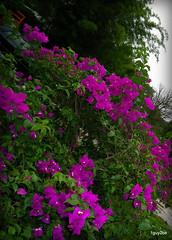 Elizabeth Bamboo  7-30-2012 4-47-45 PM (1guy2be) Tags: pink color southamerica landscape flora purple pentax florida magenta fuchsia vine bougainvillea evergreen flowercloseup santarita thorny naturephotography veranera showy bugambilia buganvílea trinitaria richardelliott flordepapel rickelliott 1guy2be elizabethangus in2it2much richardpriceelliott homesanctuary elizabethangusbougainvillea buɡɐ̃ˈviʎ̟ɐ bugambiliasantarita bugambiliasantaritabougainvillea