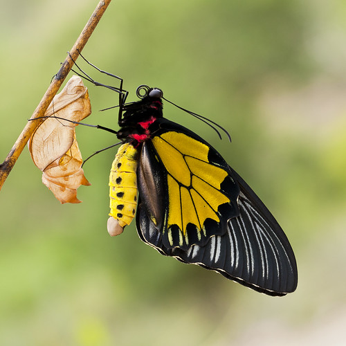Southern Birdwing Male