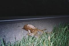 deer, johnson landing (Amy Fichter) Tags: summer film analog 35mm evening deadanimals july rangefinder deer fawn olympusxa 2012 northcountry fujisuperia200 compact35 roadtrip2012 michiganstatehighway35 johnsonlandingmichigan