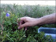dh - Cueillette de myrtilles en Margeride (et tant qu'à faire quelques framboises et fraises des bois)