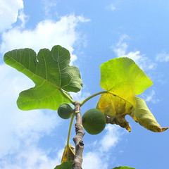 Just two small figs (Rosmarie Wirz) Tags: summer tree leaves fruit fig bluesky heat climatechange viewfrombelow dryness lackofwater effectsofheat nagativeeffects flickrmarketplace
