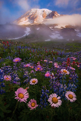 Lifting the Veil (Michael Bollino) Tags: flowers summer mountain snow mountains weather fog clouds volcano washington nationalpark paradise meadow places glacier alpine rainier pacificnorthwest wildflowers paintbrush lupine aster scapetype