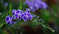 Perfectly purple (judith511) Tags: flower garden photography flickr subject duranta geishagirl iamthankfulfor naturethroughthelens ourdailychallenge