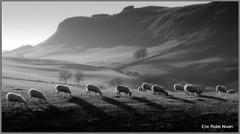 Grazing Sunshine in the Sidlaw Hills (B+W) (eric robb niven) Tags: bw landscape mono scotland sheep hills sidlaws pentaxkx abernyte thegalaxy ericrobbniven