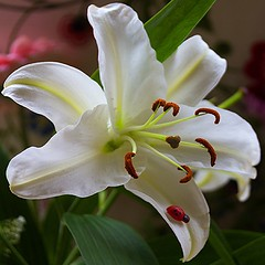 Para t, Lunita-Luna. Besos  ---- For you, Lunita-Luna. Kisses  (Pilar Azaa Taln ) Tags: light naturaleza flower color luz nature lily flor amiga congratulations mygarden lilium azucena felicidades dedicatoria seleccionar natureplus abigfave mijardn photosandcalendar excellentsflowers natureselegantshots 100commentgroup flickrflorescloseupmacros panoramafotogrfico pilarazaa lunaflamenca natureandpeopleinnature flickrsportal rememberthatmomentlevel1 lunitaluna laamistadvirtual thevirtualfriendship onlythebestofflickr