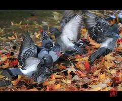 Pigeons volent... (mamnic47 - Over 6 millions views.Thks!) Tags: automne pigeons vol boulognebillancourt hautsdeseine etangdelongchamp tapisdefeuille