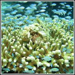 Big ugly (LeWaggis) Tags: fish square pierre squareformat format reef poisson corral venomous carré stonefish viereck s100 koralle corail venimeux synanceia synanceiaverrucosa formatcarré 1000x1000 reefstonefish poissonpierre