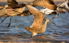 Ready for Take Off (Amy Hudechek Photography) Tags: lake bird spring colorado flight getty migration takeoff gettyimages marbledgodwit shorebird happyphotographer highlinelake amyhudechek