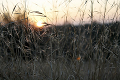 Last light (mcilhargey.kristen) Tags: california park light sun green last landscape weeds natural dusk fresno glowing woodward setting