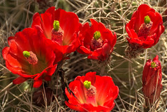 red cacti in bloom Canyonlands NP (maryannenelson) Tags: flowers red plant cacti utah nationalpark spring blossoms canyonlands