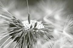 Survivor (Claudia G. Kukulka) Tags: fruit seed dandelion seedhead frucht parachute samen lwenzahn pusteblume blowball samenkopf