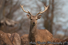 2016-05-04-038 (Andy Beattie Photography) Tags: uk england nature mammal photography europe photographer wildlife yorkshire deer halifax ungulate northyorkshire westyorkshire ripon eventoed pecora cervusnippon sikadeer hoofed andybeattie andybeattiephotography