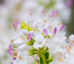 Soft and White. (Omygodtom) Tags: park plant flower macro nature outdoors design nikon soft bokeh air simple tamron90mm d7100