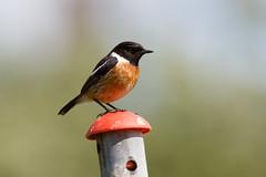 _F0A9171.jpg (Kico Lopez) Tags: birds rio spain aves galicia lugo mio saxicolarubicola tarabillaeuropea