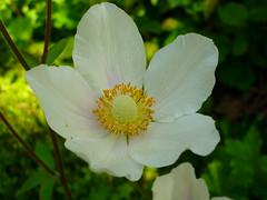 Groes Windrschen (Jrg Paul Kaspari) Tags: white flower spring mai blte garten trier frhling 2016 windrschen weis anemonesylvestris groses