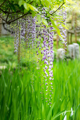 2016 Wisteria (shinichiro*) Tags: flower japan spring april nara crazyshin wisteria 2016   afsnikkor70200mmf28ged  nikond4s 20160427ds30777