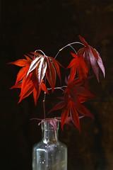 king crimson (PenelopeEfstop) Tags: stilllife leaf maple foliage japanesemaple darkbackground