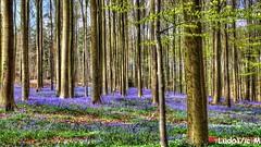 Hallerbos 11 Blue Forest (Ld\/) Tags: trip blue brussels flower bluebells forest fleurs spring belgium belgique bruxelles printemps halle brabant fort enchanted hallerbos enchante